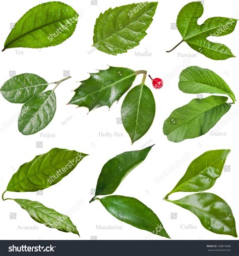 how to identify fruit trees by leaf collection set green fresh leaves fruit stock photo