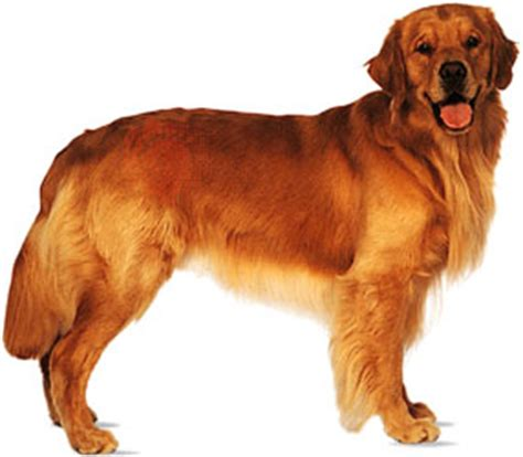 golden retriever smelly coat golden retriever breed of britannica
