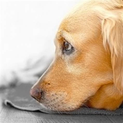 sedatives for dogs fireworks are coming relieving your s anxiety