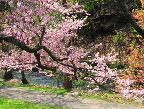 Cherry Blossom In New Jersey More Than 5 000 Cherry Trees Cherry Blossom Branch