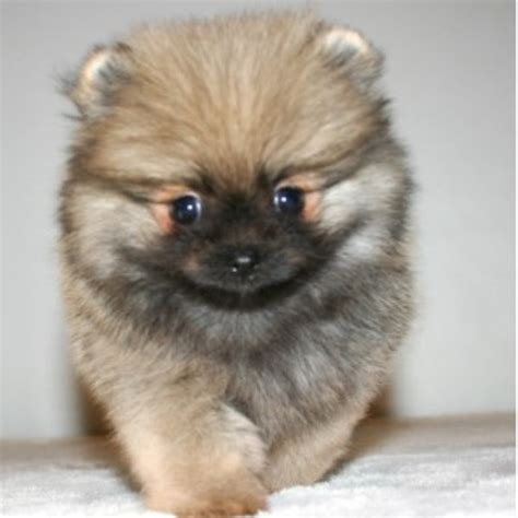 pomeranian rescue kansas pomeranian rescue in tennessee breeds picture