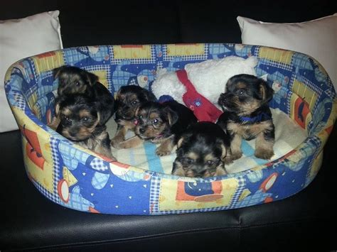 standard size yorkie puppies for sale for sale terrier puppies standard size doncaster south