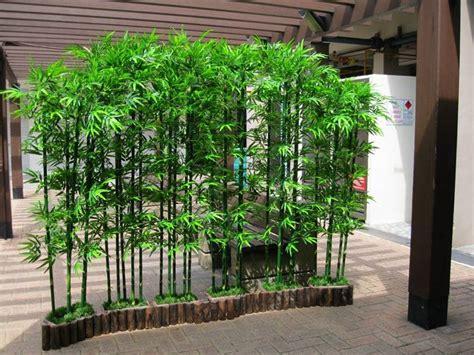 bamboo in vaso bamboo pianta piante da giardino caratteristiche della