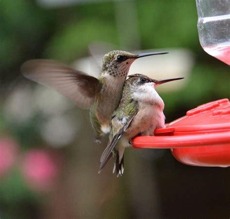 hummingbird babies by dorrie pelzer