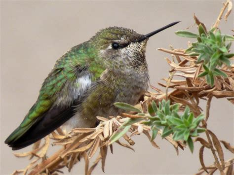 geotripper s california birds anna s hummingbird at the