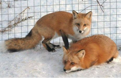 colors of foxes fox color mutations