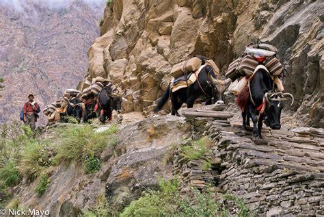 yak growing up in the remote dolpo region of nepal books pack yaks sishul khola dolpo nepal 2007 nick mayo