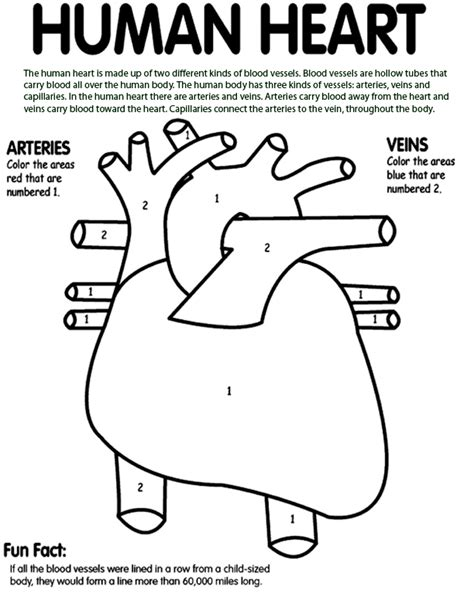 circulatory system coloring pages az coloring pages