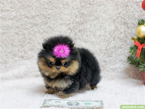 yorkie con chihuahua cachorros de terrier de 4 meses y hembra ca 241 amero