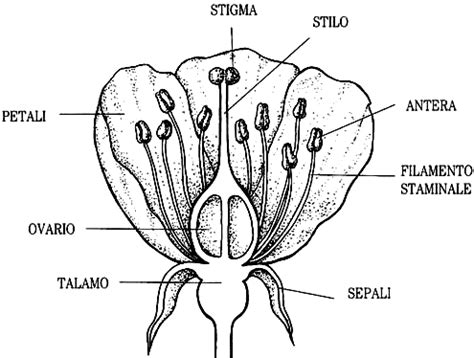 la riproduzione dei fiori struttura fiore