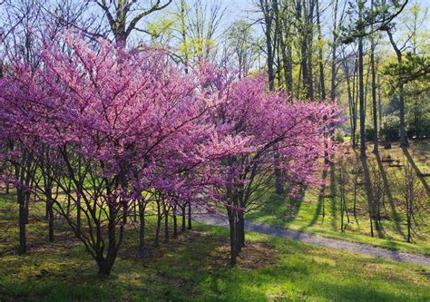 japanese redbud tree photos 15 fruitful and flowery trees that grow great in containers garden club