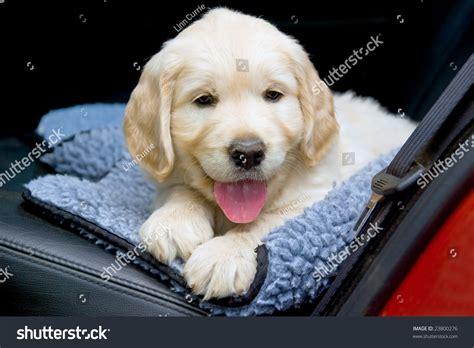 golden retriever back problems gr golden retriever puppy in back of car stock photo 23800276
