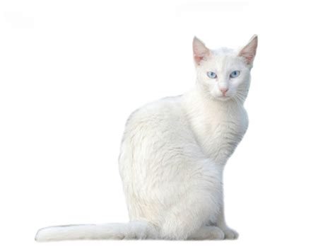 the white cat and white cat names catsbook