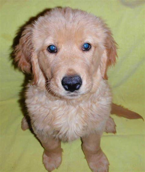 golden retriever puppies for sale in ny dogs puppies page 4 for sale ads free classifieds