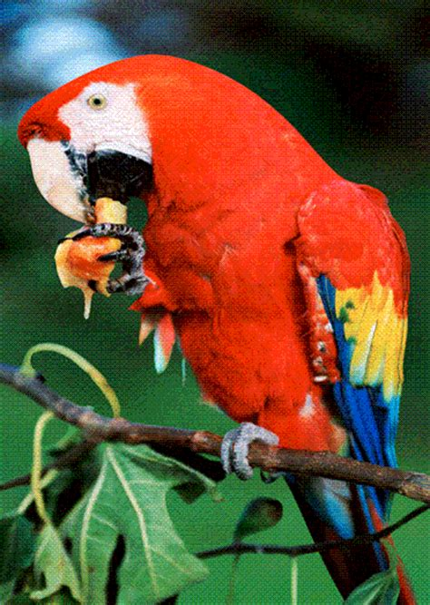 scarlet macaw  card authentic maps map stop top