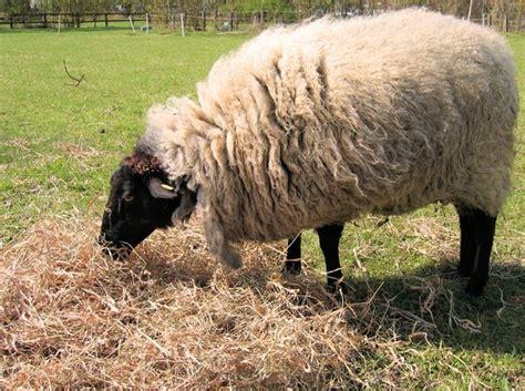 shep food free stock photos rgbstock free stock images sheep straw ayla87 april