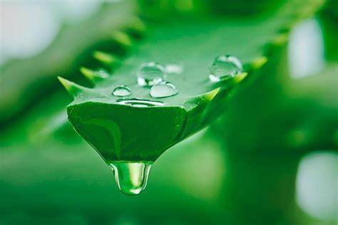 Obat Maag Tradisional Lidah Buaya khasiat madu dan lidah buaya sebagai obat herbal penyakit