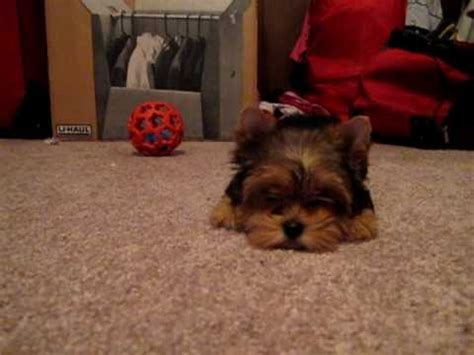 yorkie smartest smartest yorkie puppy such a terrier photo breeds picture