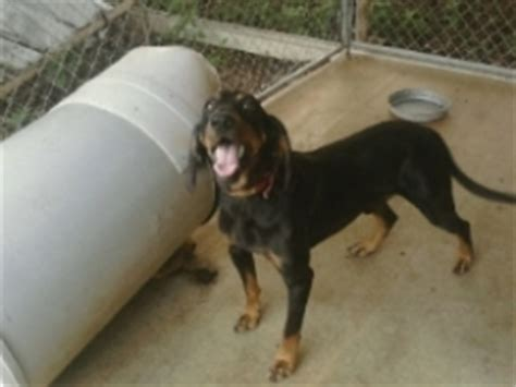 coon dogs for sale finished cur dogs for sale breeds picture