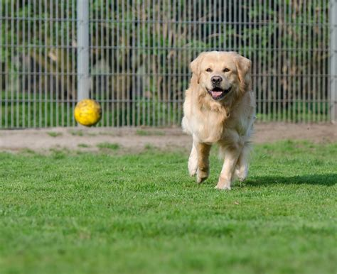 high meadow golden retrievers free images meadow puppy enclosure golden retriever vertebrate labrador
