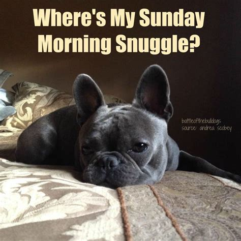 Sunday Morning Memes - 111 best images about frenchie memes on pinterest