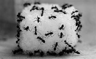 how to get rid of sugar ants top 9 ant killers