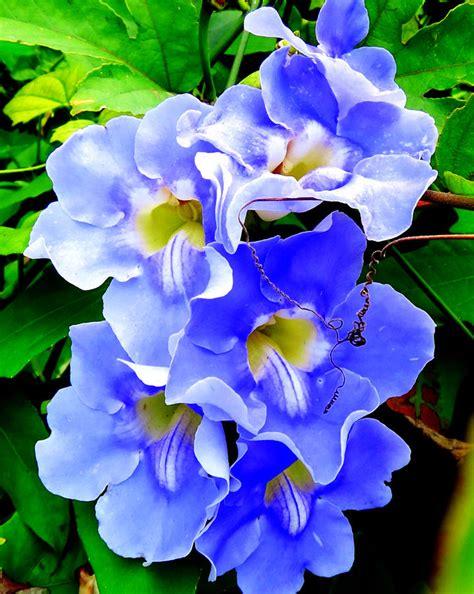 Blus Vinzo blue vine flowers by smith