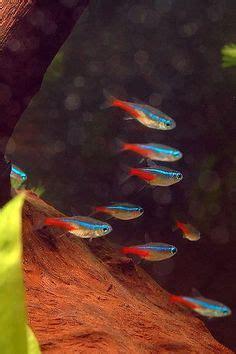 austrofundulus dolichopterus aquarienfische aquarium