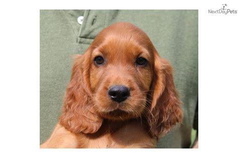 irish setter show dogs for sale meet iris a cute irish setter puppy for sale for 500 akc
