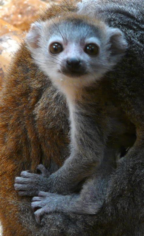 baby lemur baby lemur on the lookout zooborns