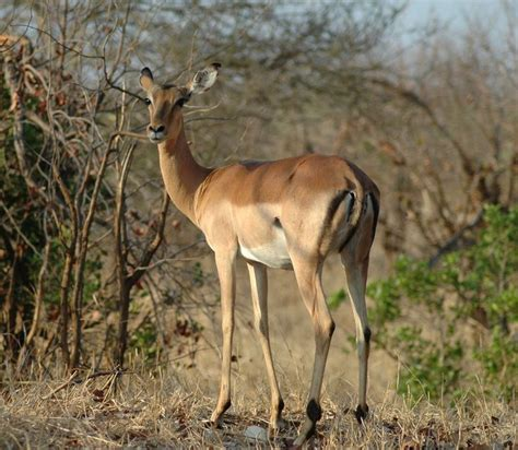 igbo names for animals west africa animal superb impala top 10 most antelope species