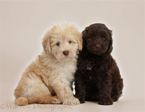 Bathroom Designer dogs cute toy goldendoodle puppies on beige background