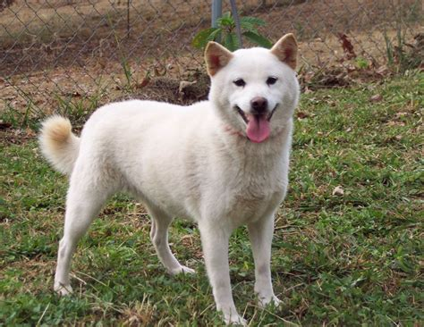 white shiba inu puppies shiba inu puppies for sale and from rescue organizations