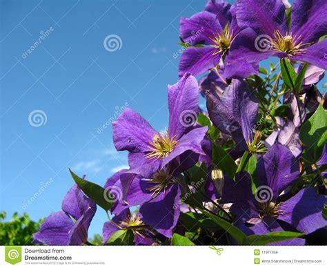 imagenes flores salvajes flores violetas salvajes fotos de archivo libres de