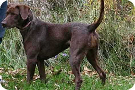 german shorthaired lab puppies tessa adopted avon ny german shorthaired pointer labrador retriever mix