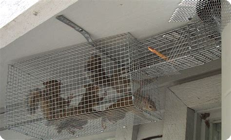 Squirrel In Ceiling by Squirrels In The Ceiling How To Get Rid Of And Remove Them