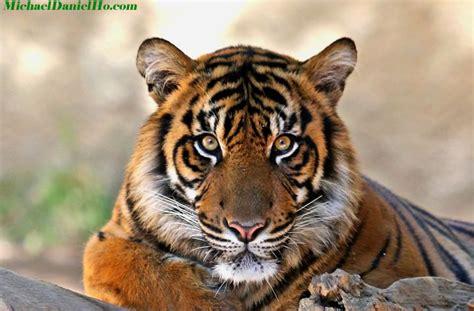 wild tiger photos tiger photography tiger pics tiger