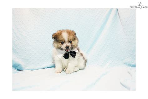 pomeranian for sale in los angeles michael arrington pomeranian puppy for sale near los angeles california 26bf8b12 ab51