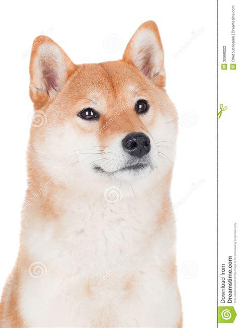 white shiba inu puppies shiba inu on white background stock photography image 30968222