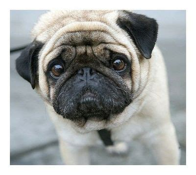 why are pugs so why so sad pug stuff juxtapost