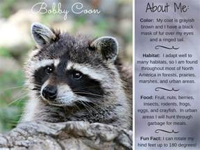bobby coon raccoon facts activities books photos and