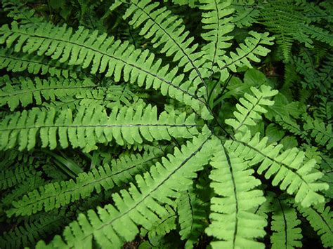 how to care for maidenhair fern garden guides