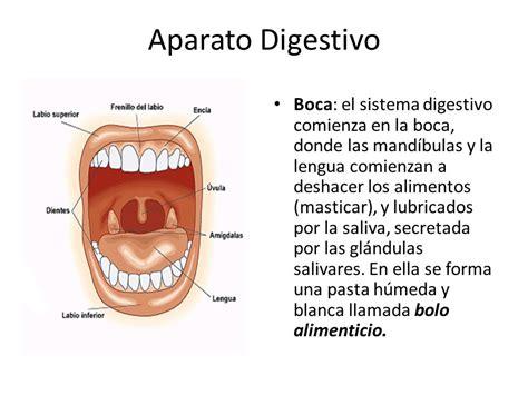 digestivo images aparato que funcion cumple el sistema picture aparato digestivo el aparato digestivo tiene la funci 243 n de