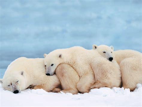 Bears White polar animals wiki pictures stories