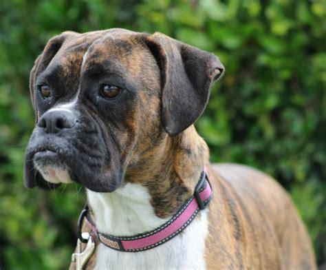boxer rescue help west coast boxer rescue