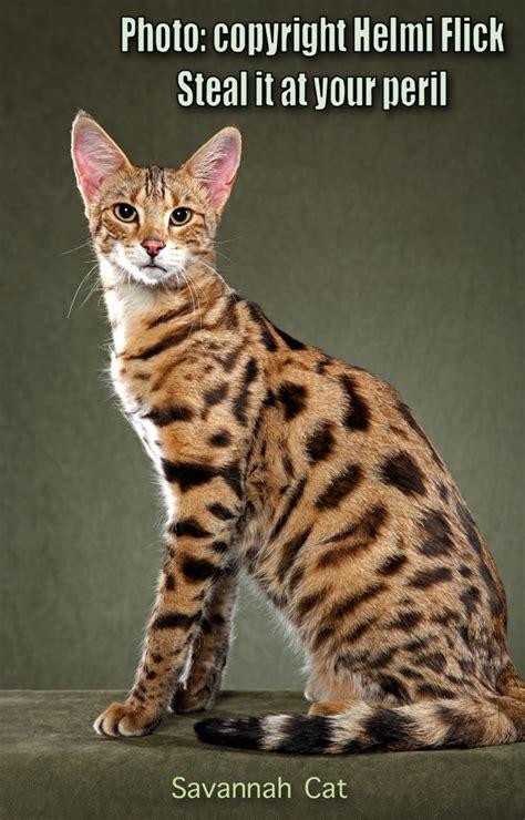 Savannah Cat ? Elegant, Tall, Inky Spots