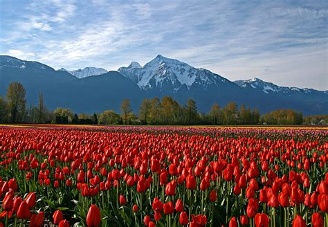 flower wallpaper canada tulips and mountains a photo from british columbia