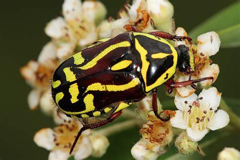 yellow black beetle garden pest eupoecila australasiae
