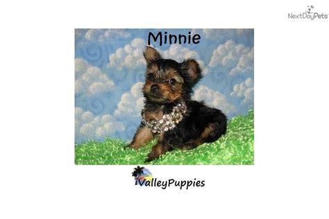 yorkies for sale in mcallen terrier yorkie puppy for sale near mcallen edinburg 3dc5df97 4331