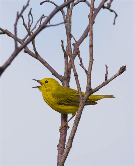 bill hubick photography yellow warbler dendroica petechia